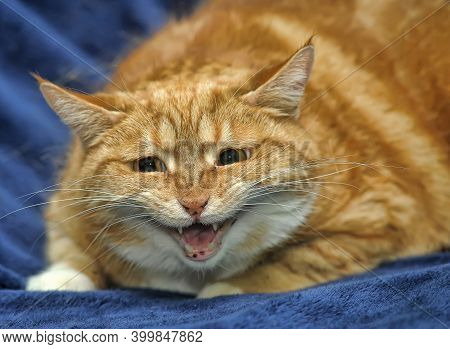 Ginger Cat Plaintively Meows Portrait Close Up