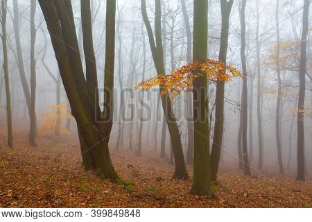 Beautiful Forest On A Foggy Autumn Day. Autumnal Mysterious Forest Trees With Yellow Leaves.