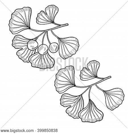 Ginkgo Biloba Plant, Leaf, Branch, Berry. Isolated On White, Medicinal Plant. Hand Drawn Sketch Illu
