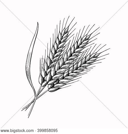 Wheat Barley Spikelets Hand Drawn Vector Illustration. Sketch Rye Ears. Engraved Bakery Logo Or Cere