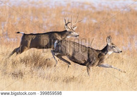 Mule deer buck and doe during autumn mating season. Wildlife of Colorado. Wild Deer in Their Natural Environment in Colorado.