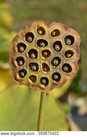 Sacred Lotus Seeds - Latin Name - Nelumbo Nucifera