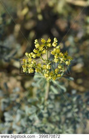 Common Rue Yellow Flowers - Latin Name - Ruta Graveolens
