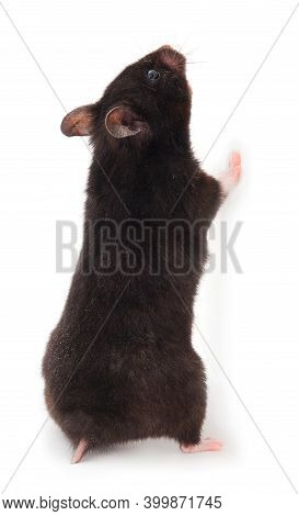 Small Black Hamster Isolated On White Background.