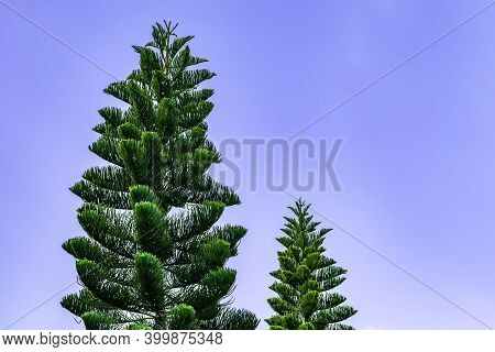 Two Tropical Coniferous Araucaria Heterophylla Trees Isolated On Blue Sky Background. Natural Backgr