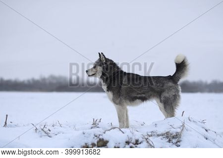 Husky Dog Walking In The Snow. Portrait Of Husky Dogs.