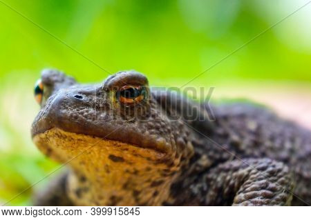 Common Toad Sitting On The Ground, European Toad In Natural Environment Close-up Portrait.