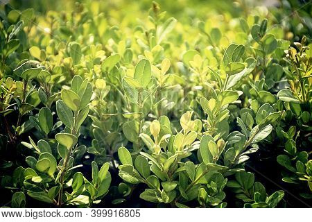 Green Leaves In The Garden. Nature Abstract Background.  Green Leaves With Natural Pattern. Greenery