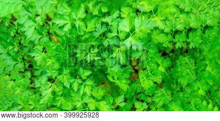 Parsley Petroselinum Parsley Leaves Green Leaves. Parsley Growing In The Garden. Close-up. Garden.