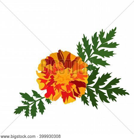Marigold Vector Stock Illustration Close-up. Orange Flower Marigolds. Autumn Wedding Flowers. Isolat