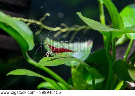 White Spot Sulawesi Shrimp Or Cardinal Shrimp With Long Antenna Stay Alone On Green Leaf Of Aquatic