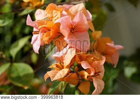 Rosa Preciosa, A Pink And Orange Color Of Bougainvillea Flowers