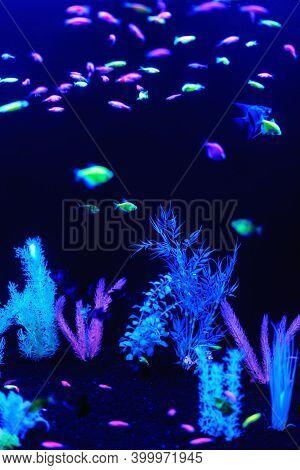 Neon Glow Fish Color Freshwater Aquarium. Underwater World Fish Aquarium In The Neon Light. Blurry B