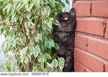 Funny Gray Scottish Straight Cat Hides Behind Large Green Ficus Plant