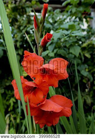 Red Gladiolus On A Background Of Green Plants. Gladioli Close-up. The Flower Is Dark Red With A Fier