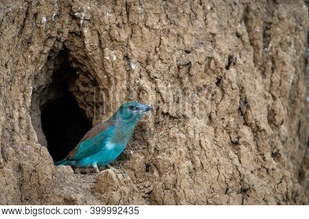 The European Roller Bird Chick Prepares To Fly Out Of The Hole-nest.