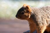 curious tree squirrel poster