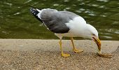 Seagull eating crab on the embankment ob lake in summer day poster