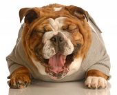 adorable english bulldog laying down with mouth opening laughing poster
