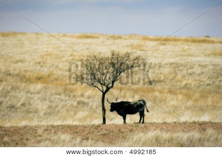 Cattle Grazing On Ranch Spring Grass