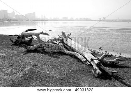 Driftwood With Durban City Skyline Black And White