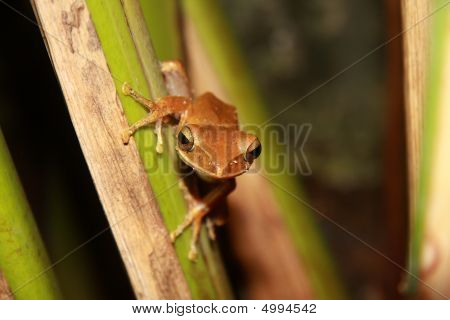 A common tree frog shot amongst plants in a garden. poster
