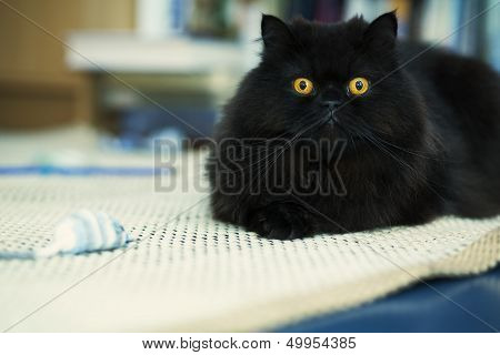 Male Cat Looking Attentively At Photo Camera