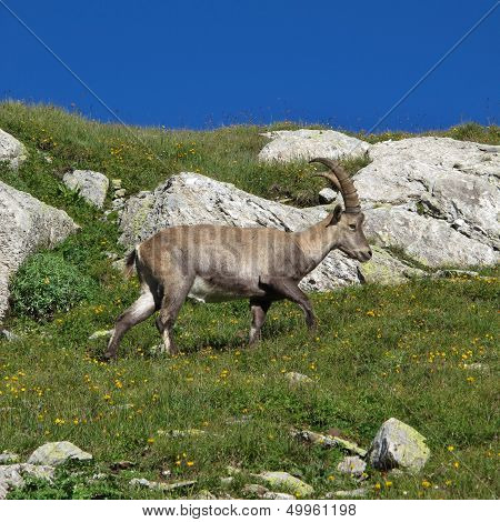 Alpine ibex, rare wild animal living in the Alps. poster