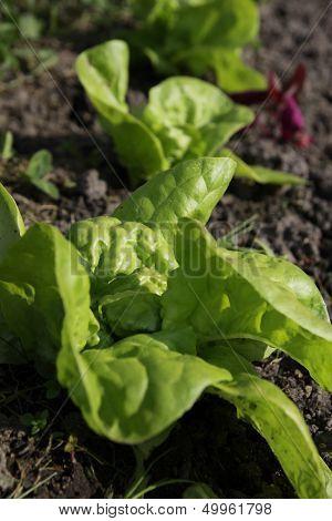 Early salad