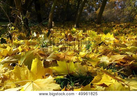 Gold leaves on ground