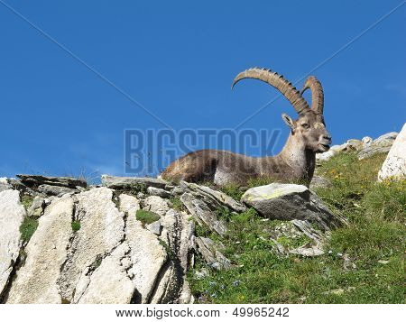 Alpine ibex, rare wild animal living in high altitude. poster