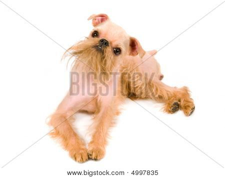 Puppy of the Brussels griffon isolated on a white background poster