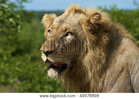 Male Lion portrait