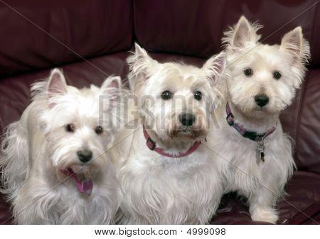 Three Westies