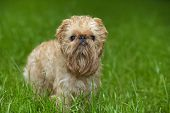 Small dog of breed the Griffon Bruxellois on walk in the summer poster