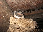 image of swallow sitting in the nest poster