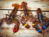 Three live Maine lobsters on a deck poster