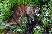 Maine Coon Cat in the grass poster
