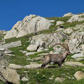 Beautiful alpine ibex wild animal living in the Alps. poster