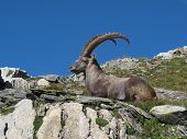 Resting alpine ibex, rare wild animal living in the Alps. poster
