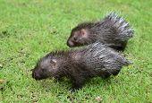 baby porcupine ( Hystrix brachyura ) walking on green grass poster