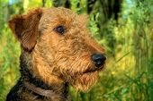 A single airedale terrier poses in profile outdoors poster