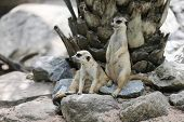 Two suricates on the alert watching for predators poster