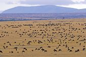 Wildebeest Covering Plains Of Masai Mara During Annual Migration poster