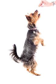 Yorkshire Terrier Begging