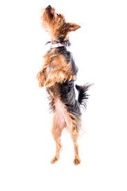 Agile Little Yorkie Or Yorkshire Terrier