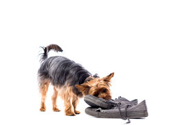 Little Yorkie Chewing On Old Trainers