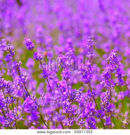 lavender flowers blooming poster
