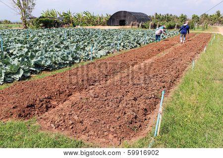 Agriculturist Work In Field Cabbage.