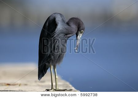 Egretta Caerulea, Little Blue Heron